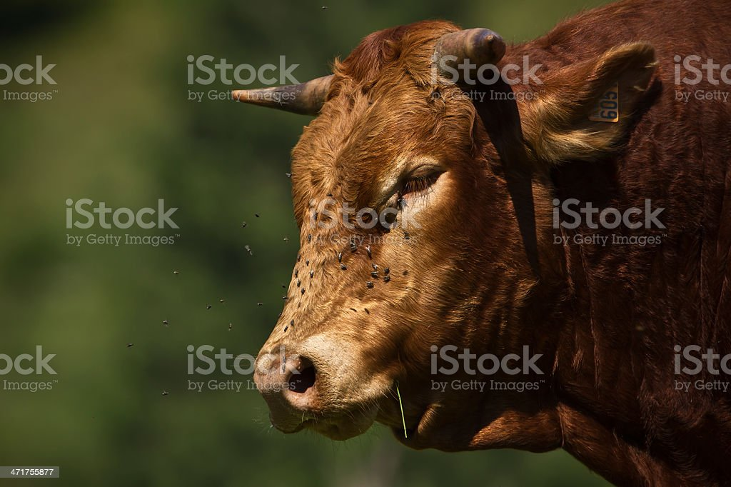 domestic cow portrait with lot's of flies royalty-free stock photo