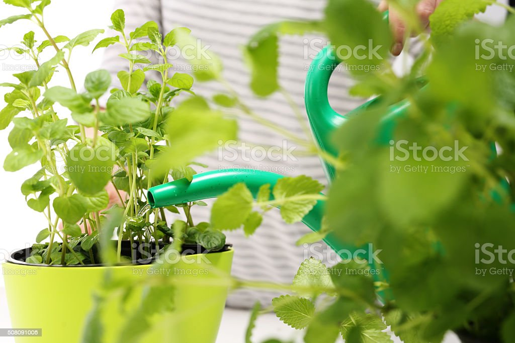 Domestic cultivation of herbs. stock photo