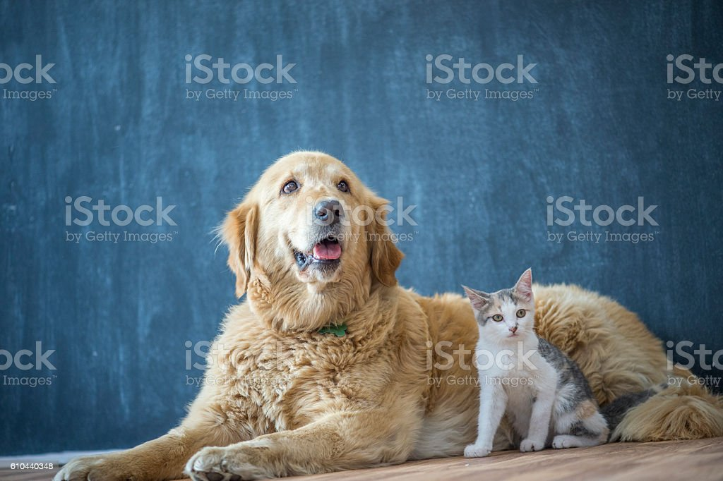 Domestic Dog and Cat stock photo