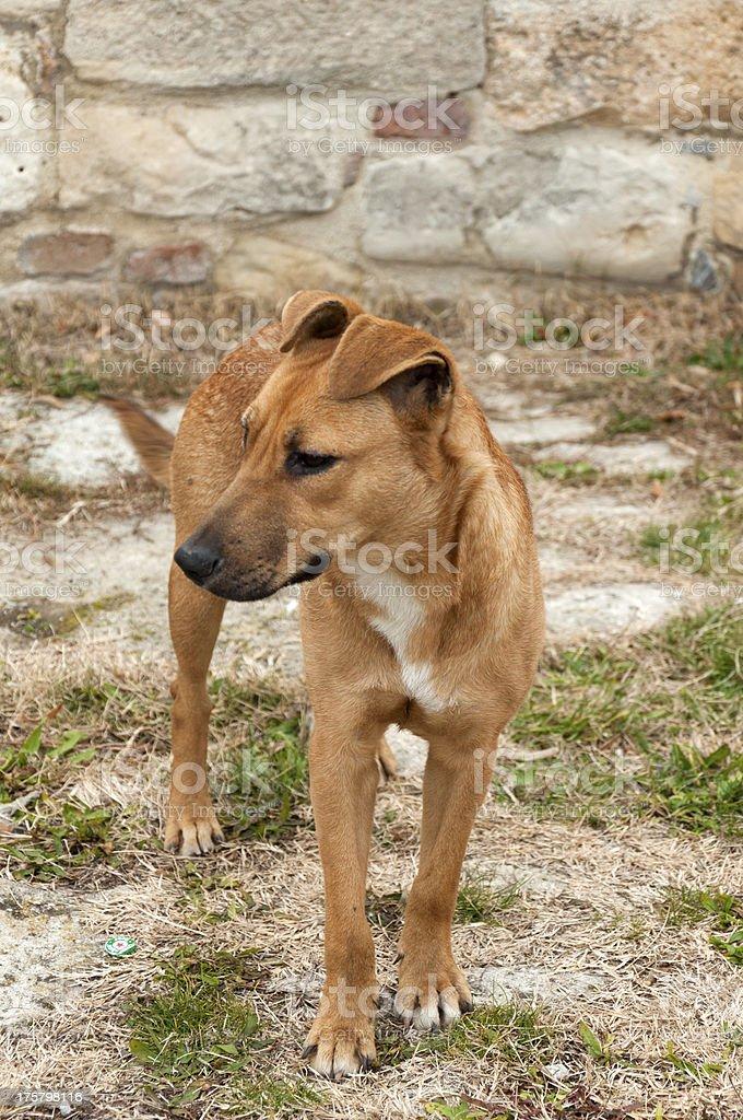 Domestic dog royalty-free stock photo