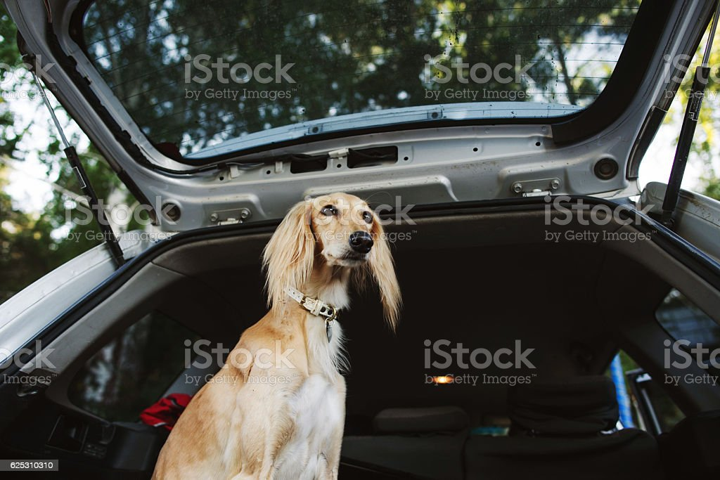 Domestic dog sitting in the car trunk stock photo