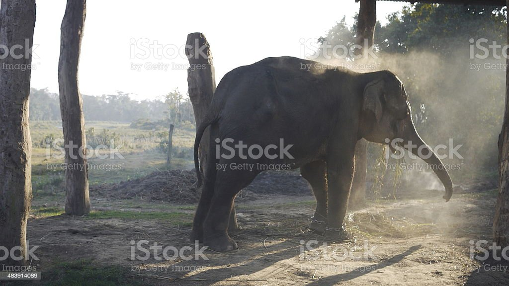 domestic elephant playing sand in chitwan national park royalty-free stock photo
