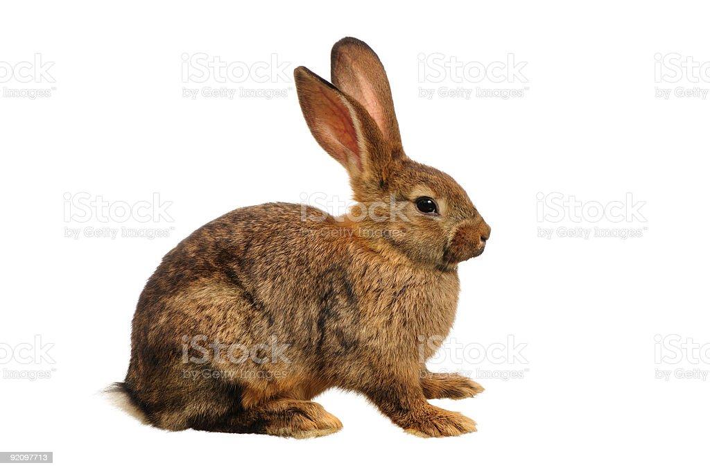 Domestic European Rabbit stock photo