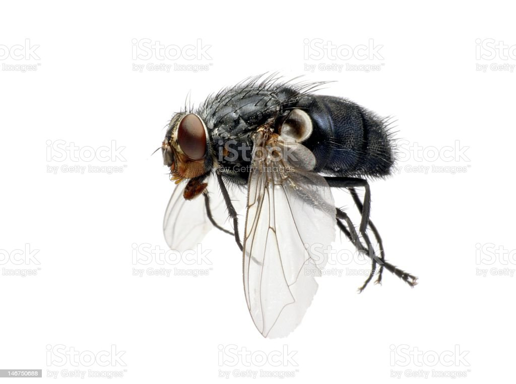 Domestic fly in flight stock photo