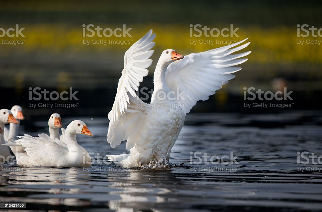 Domestic geese on the lake stock photo