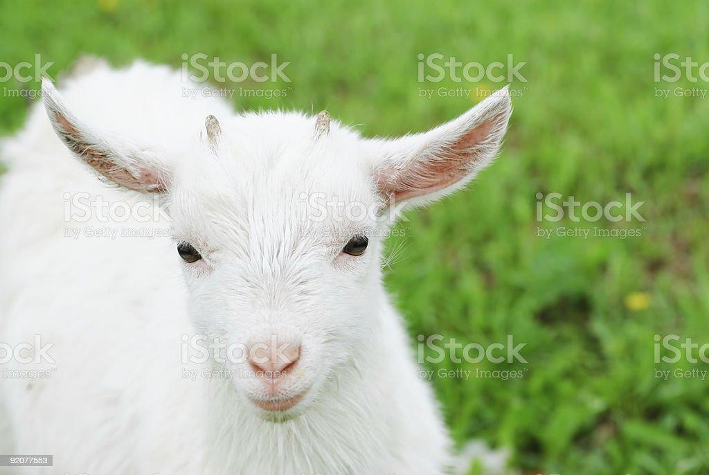 Domestic Goat- goatling stock photo