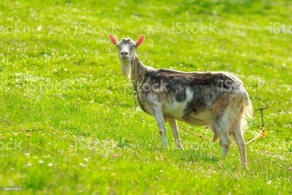 Domestic Goat stock photo