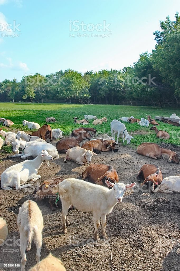 Domestic Goats stock photo