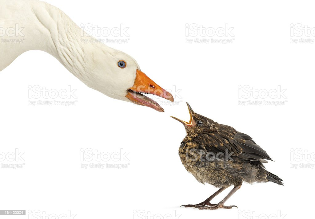 Domestic goose and Common Blackbird facing each other stock photo