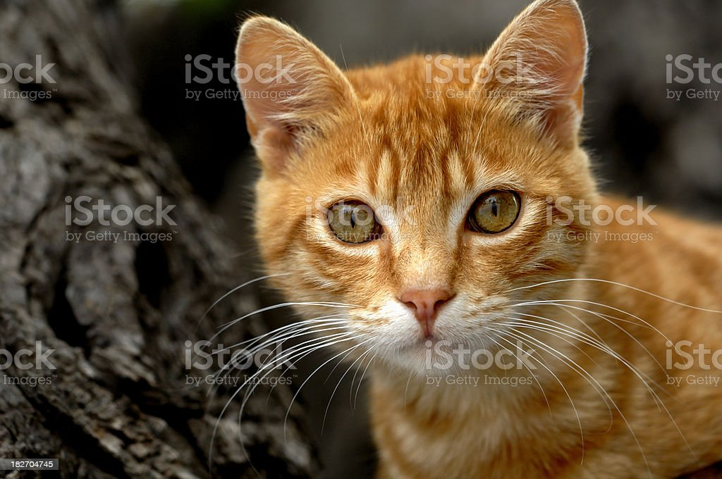 Domestic Greek Cat royalty-free stock photo