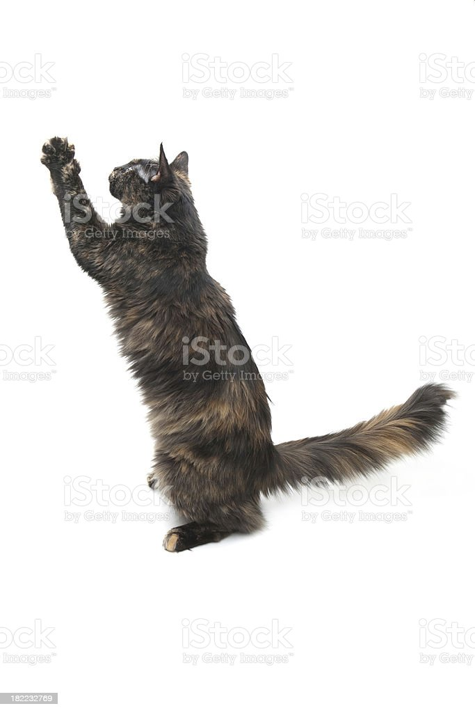 Domestic House Cat royalty-free stock photo