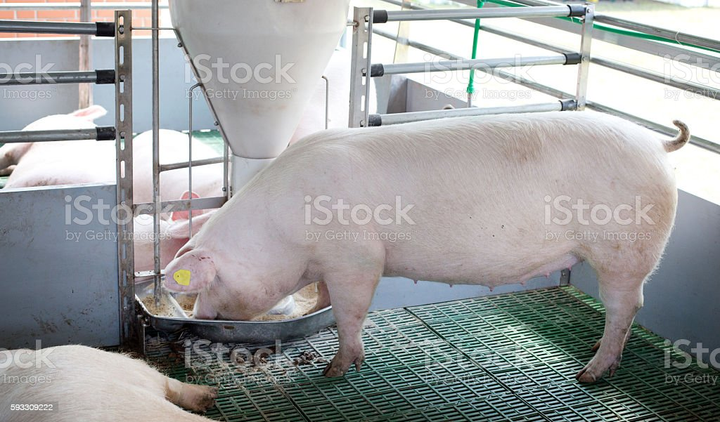 Domestic pig eating from self feeder stock photo