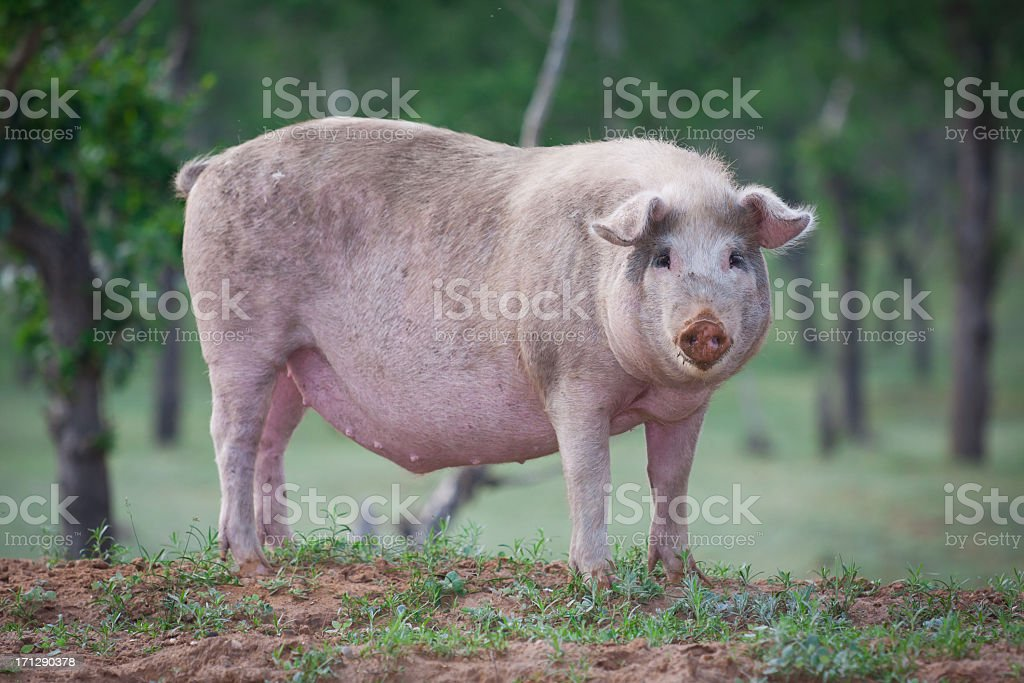 Domestic pig stock photo