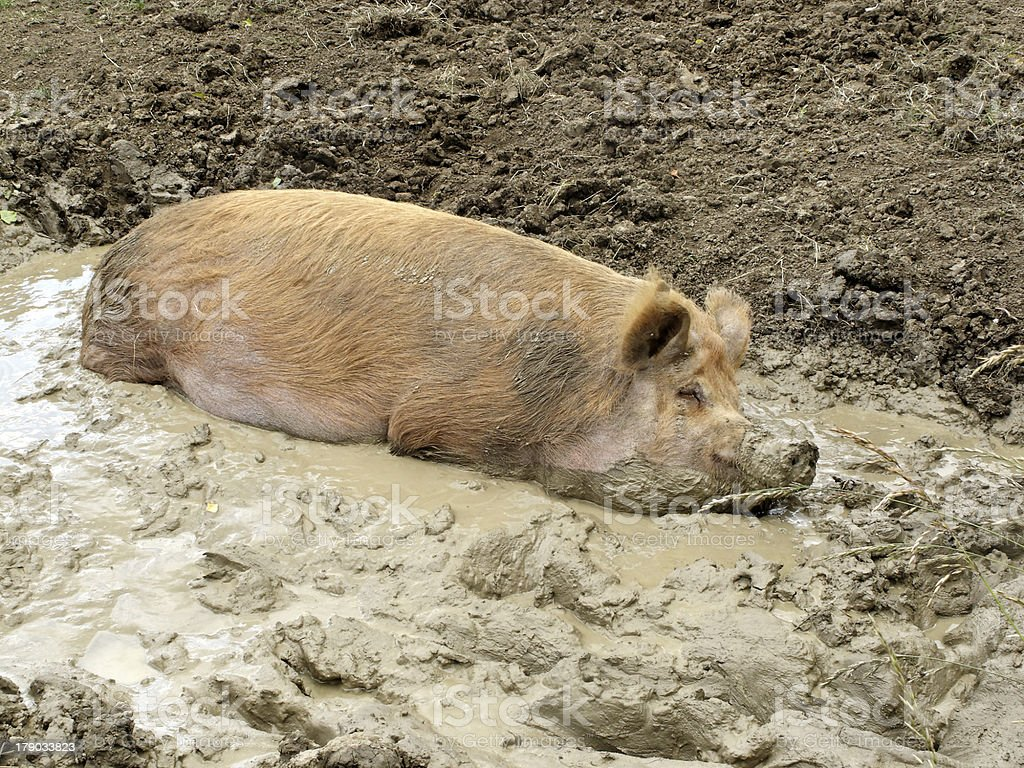 Domestic pig royalty-free stock photo