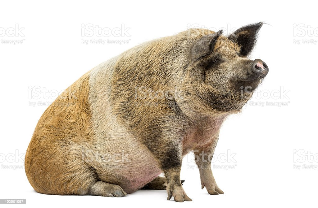 Domestic pig sitting and looking away, isolated on white stock photo