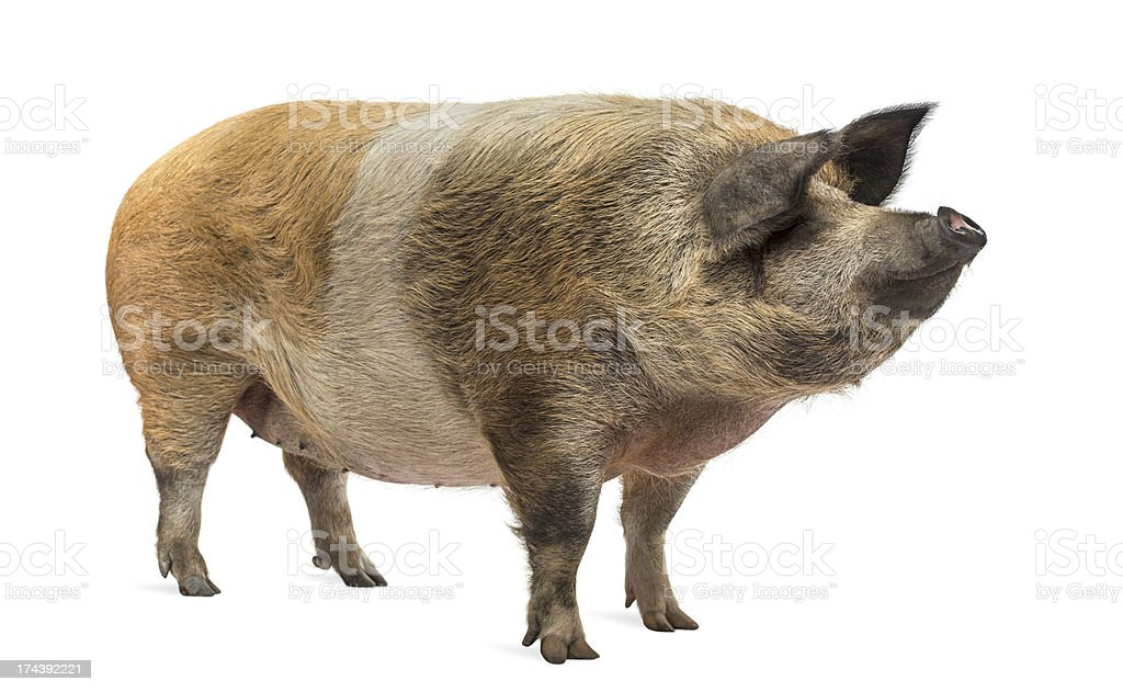 Domestic pig standing and looking away, isolated on white stock photo