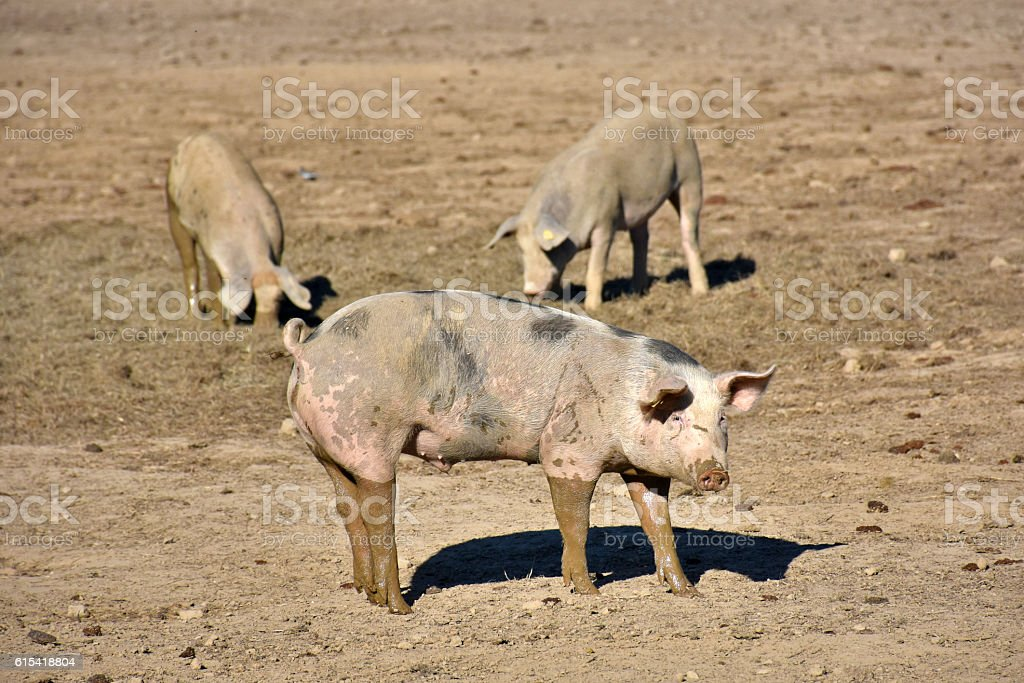 domestic pigs stock photo