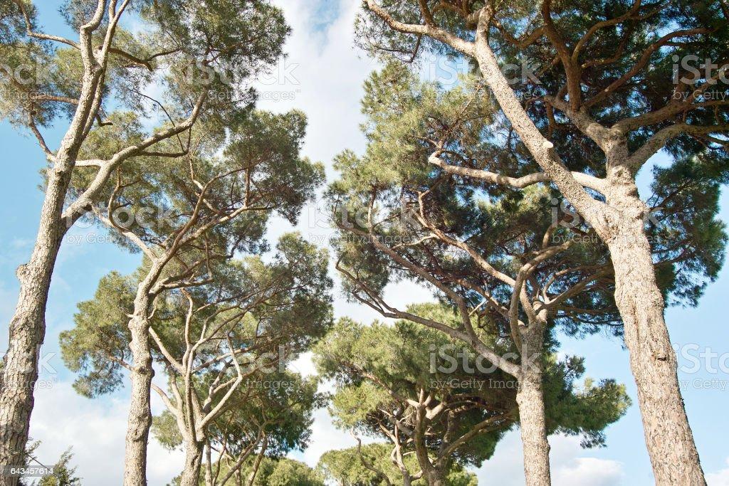 domestic pines stock photo