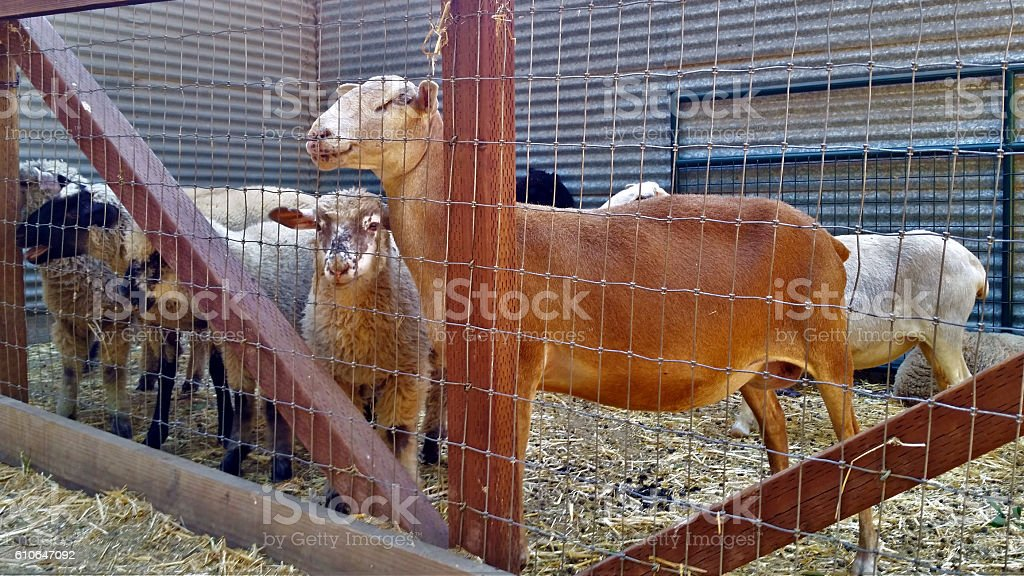 Domestic Sheep in a Pen stock photo