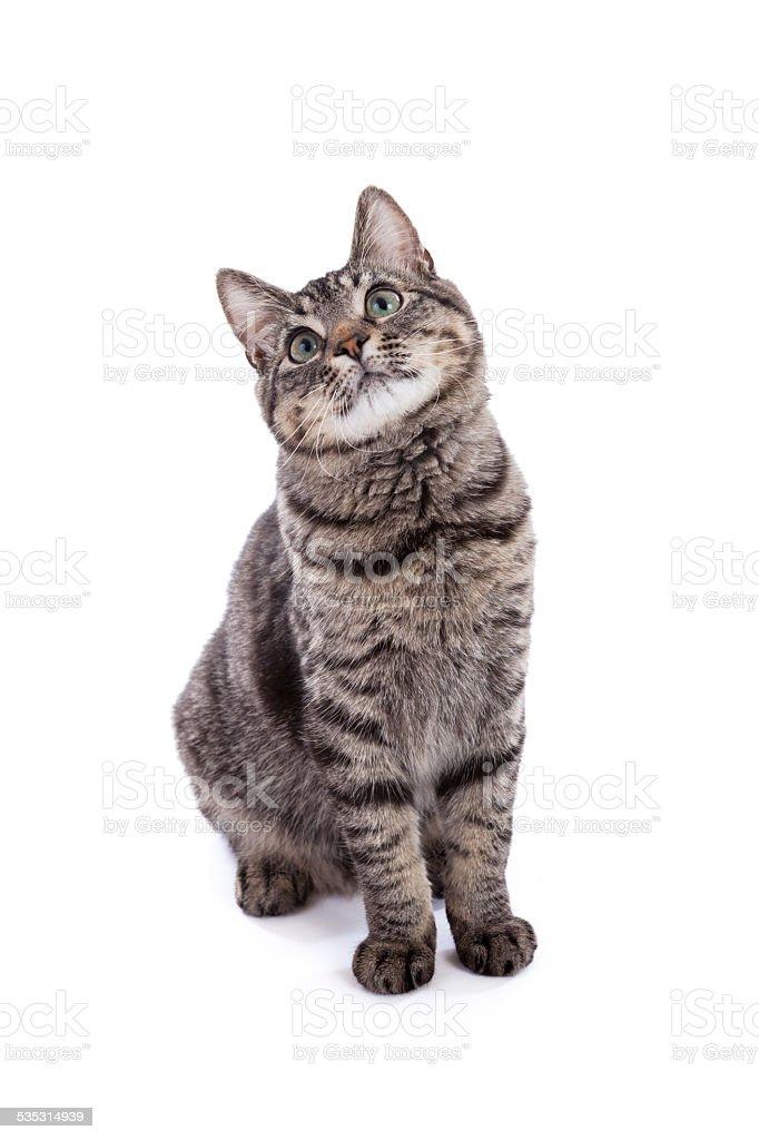Domestic Shorthair Cat Portrait stock photo