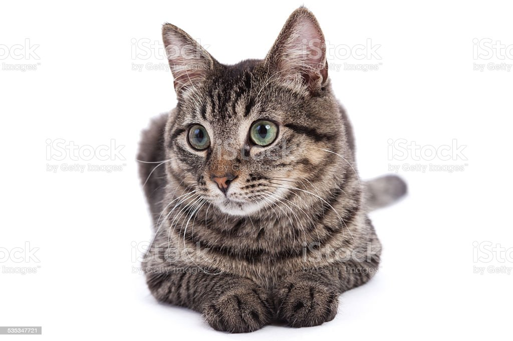 Domestic Shorthair Cat Portrait stock photo