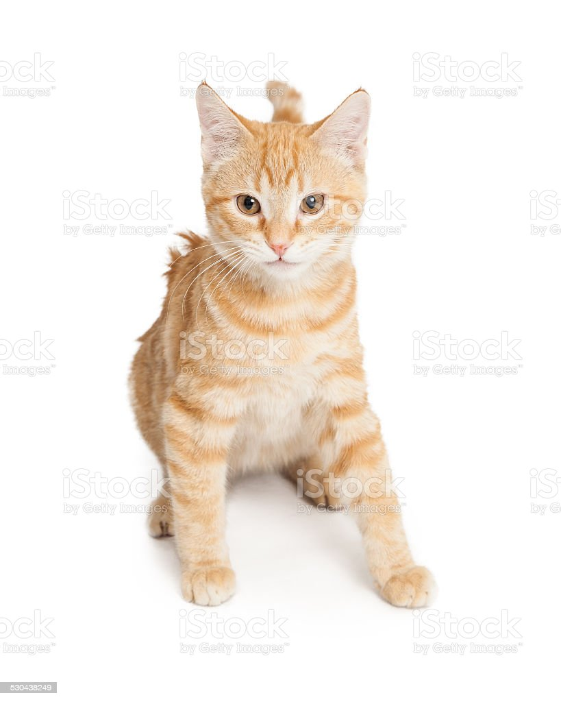 Domestic Shorthair Kitten stock photo