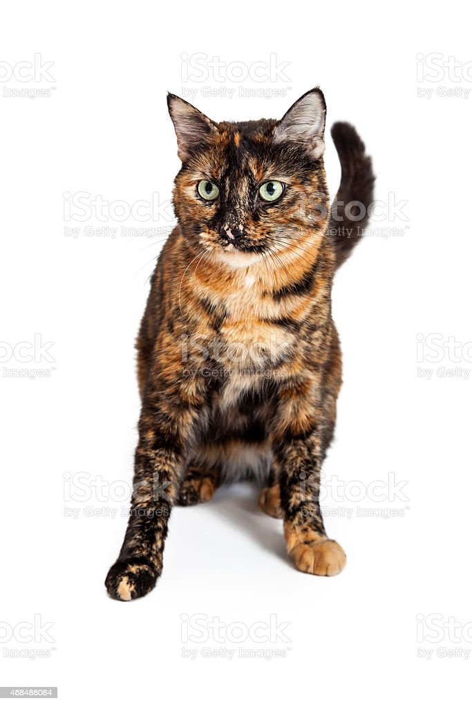 Domestic Shorthair Mixed Breed Calico Cat Sitting stock photo