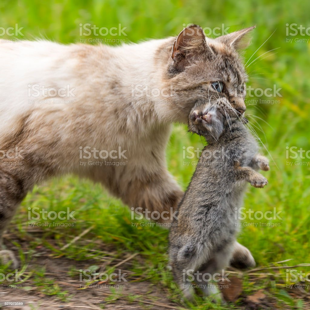 Domestic tabby cat. The return of hunting stock photo