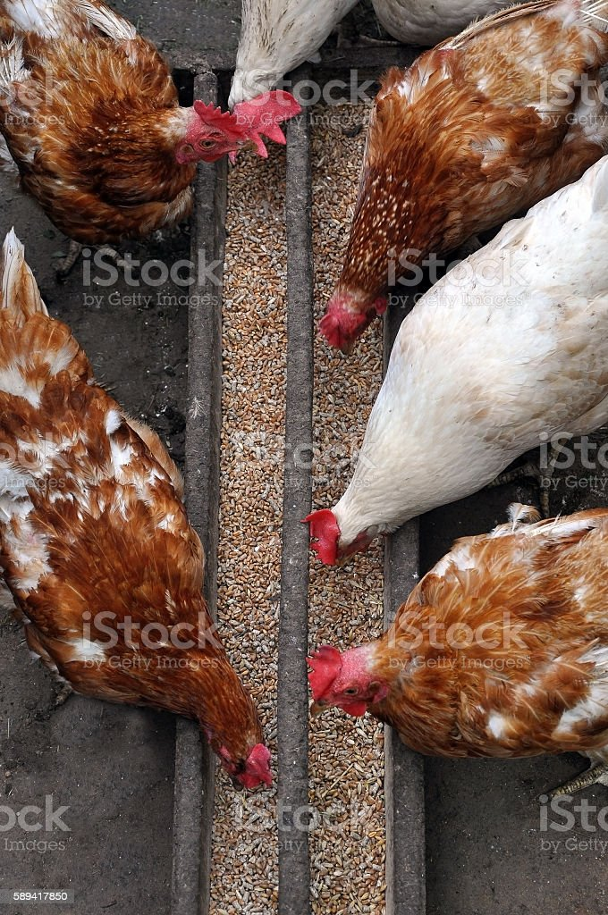 Domestic white and brown chicken eating millet. stock photo