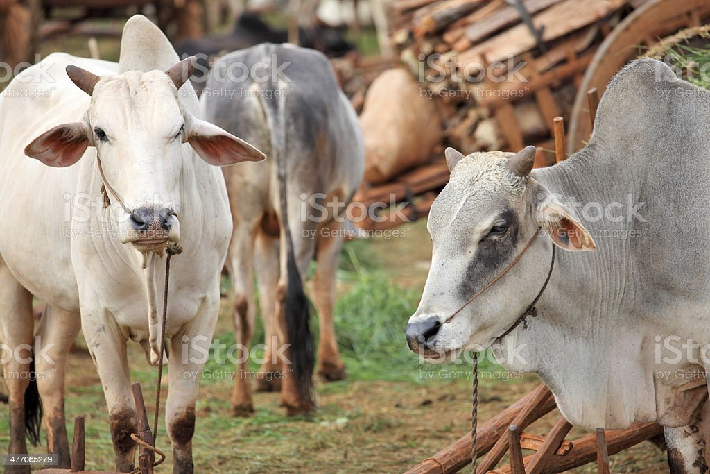 Domestic zebu stock photo
