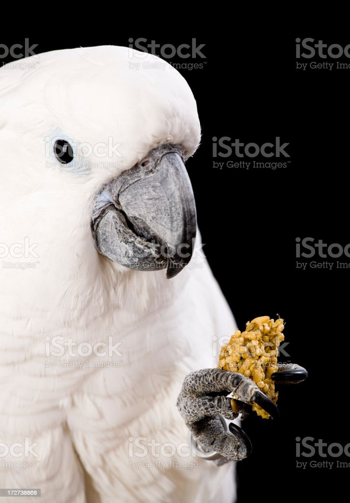 Domesticated Cockatoo stock photo