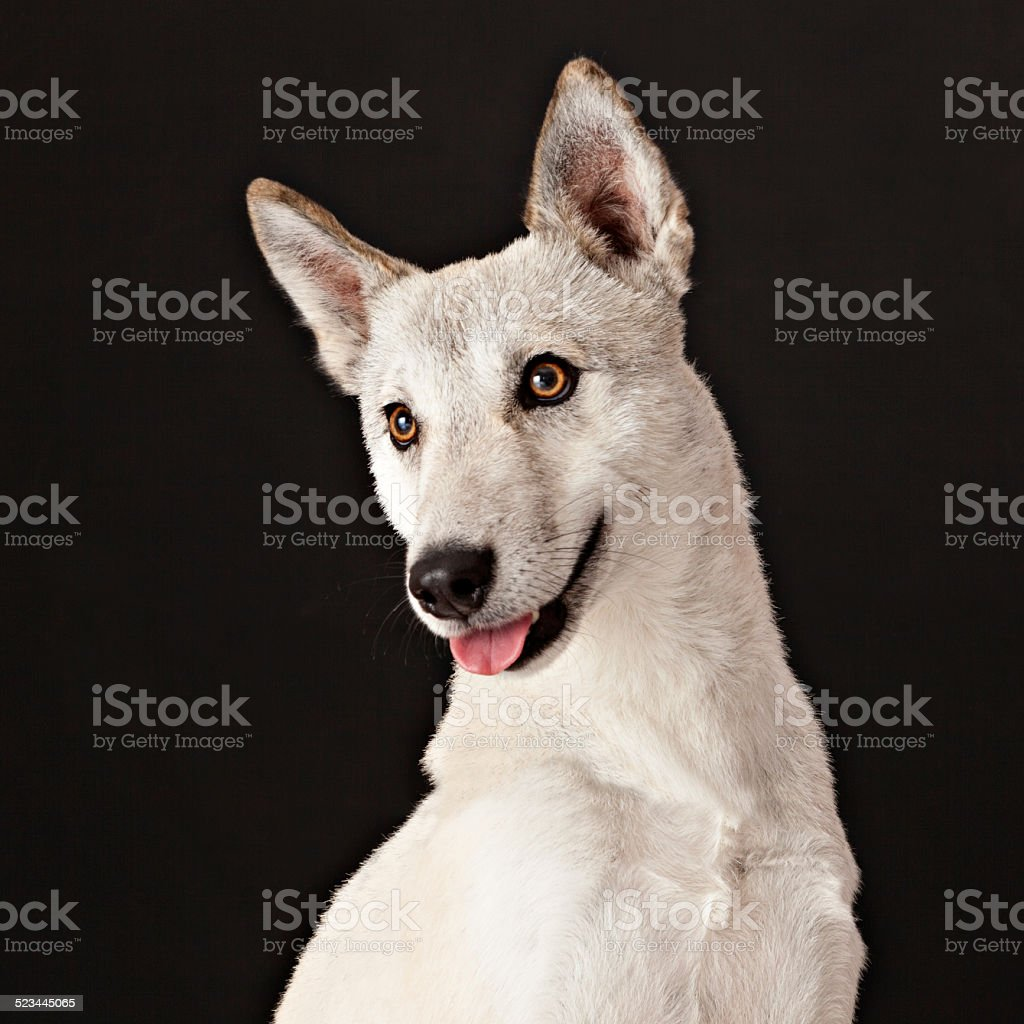 Domesticated Coyote Dog Mix stock photo
