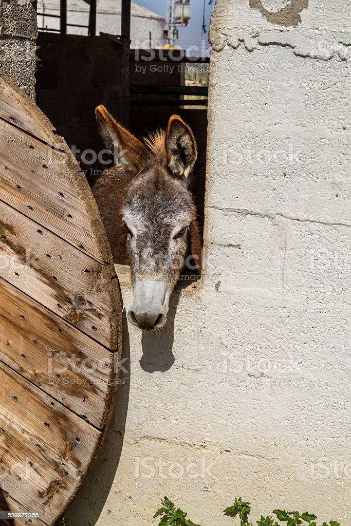 Domesticated donkey standing in the corral stock photo
