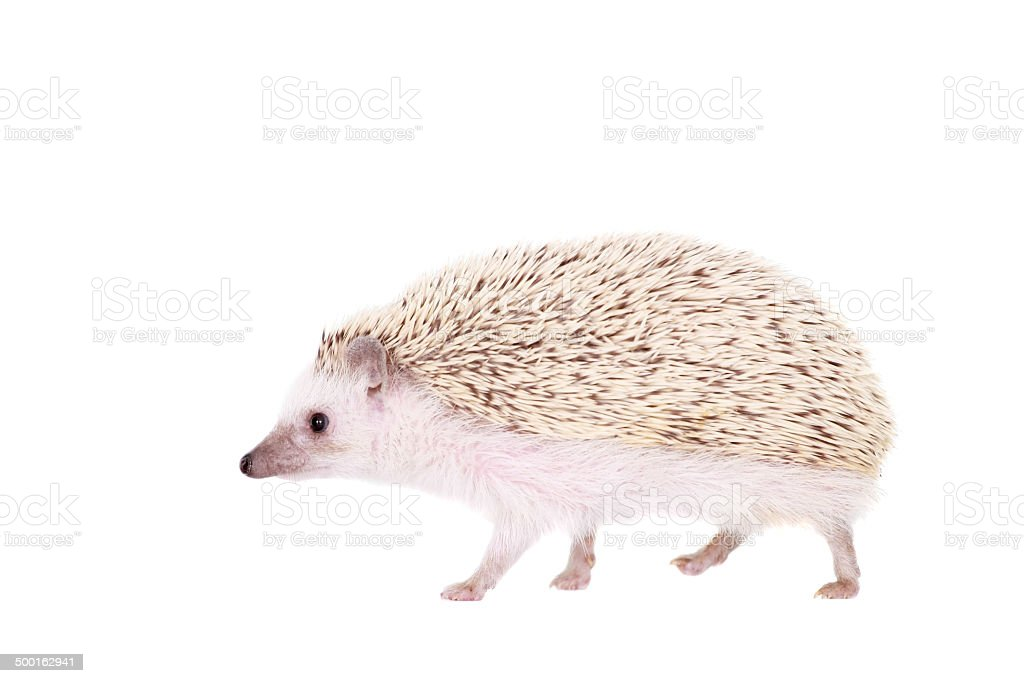 Domesticated hedgehog or African pygmy stock photo