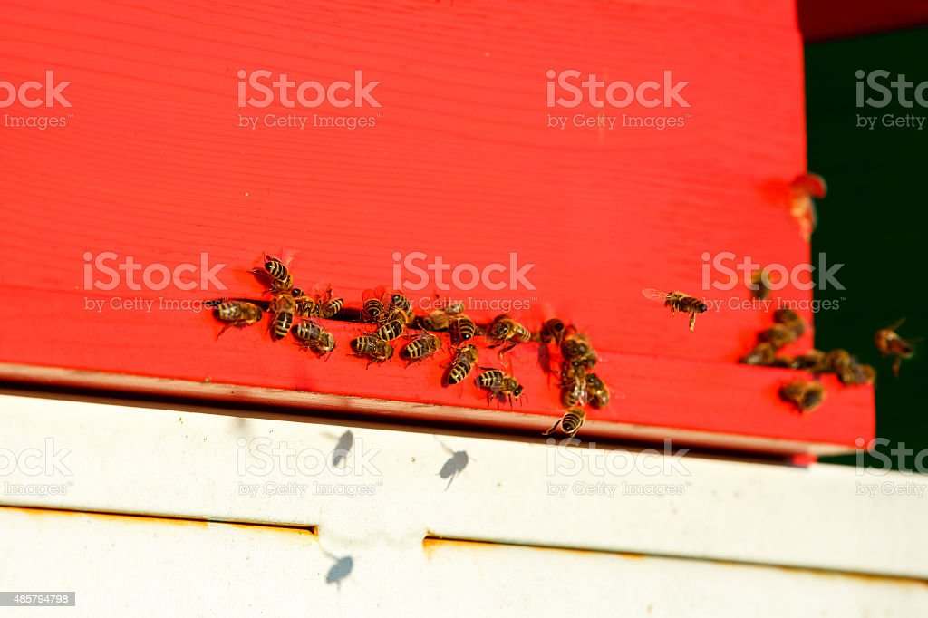 Domesticated honeybees in flight, returning to their apiary stock photo