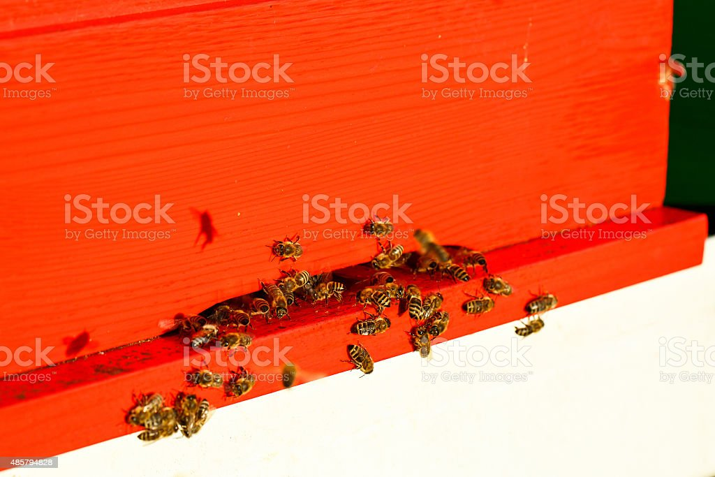 Domesticated honeybees in flight, returning to their beehive stock photo