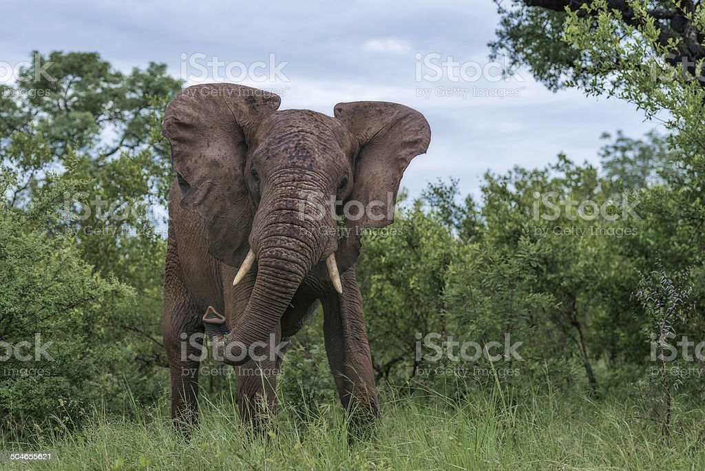 Dominant Elephant stock photo