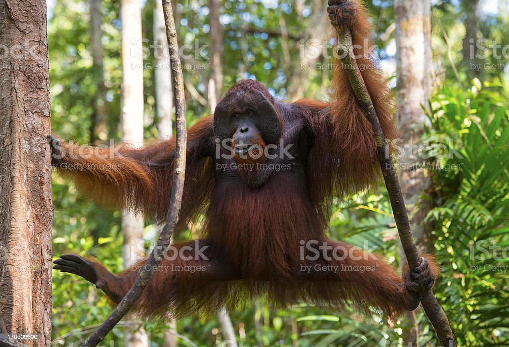Dominant male Orang Utan in the jungle, wildlife shot stock photo