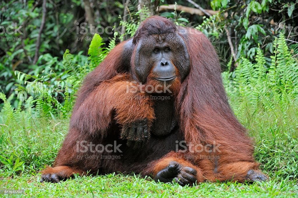 Dominant male orangutan stock photo