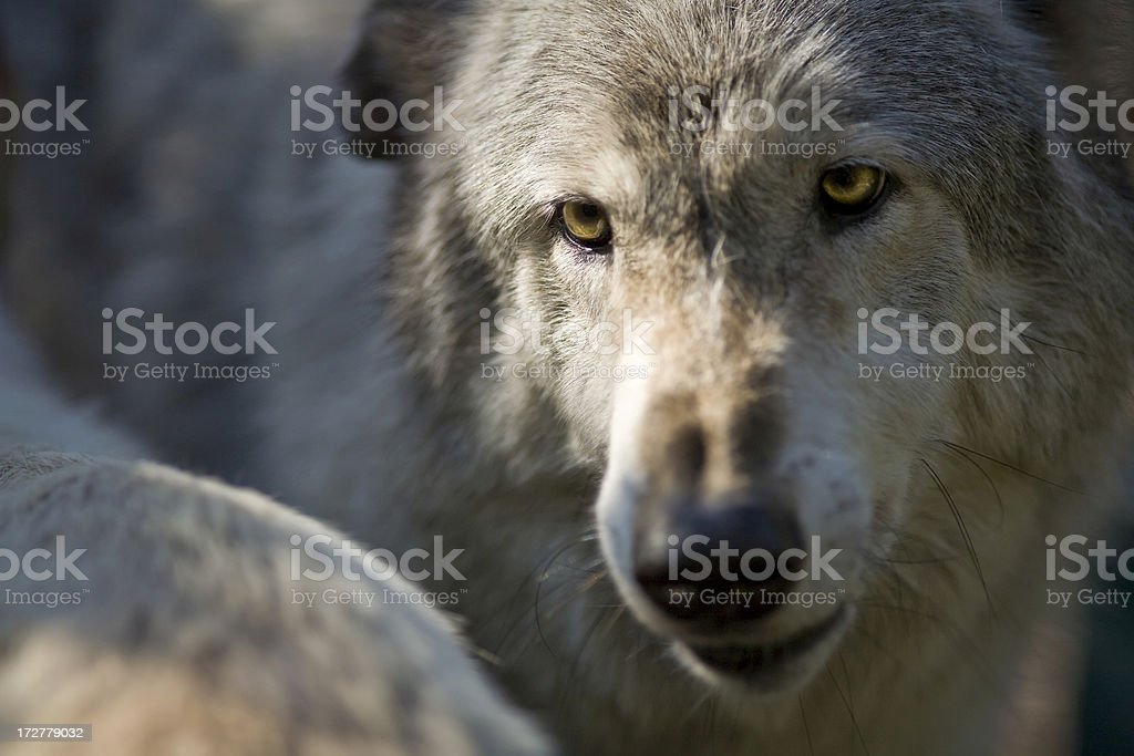 Dominant Male Wolf Asserts Authority With Another stock photo