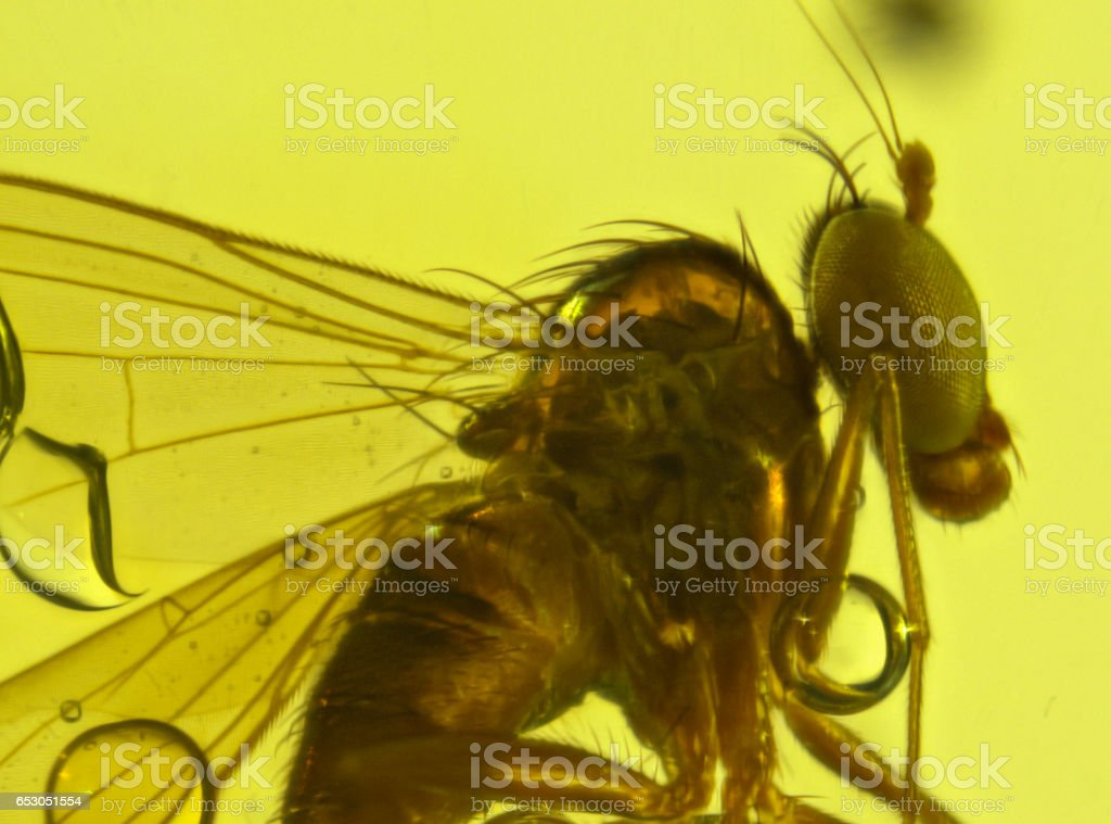 Dominican Amber Fossil Diptera stock photo