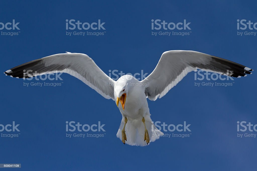 Dominican gull that screams and soars in the sky in Antarctica stock photo