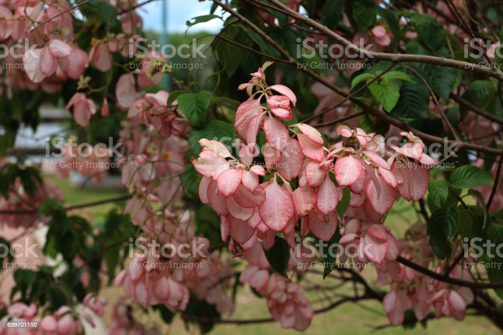 dona luz, flower stock photo
