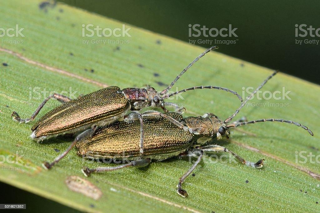 Donacia simplex reed beetles mating stock photo