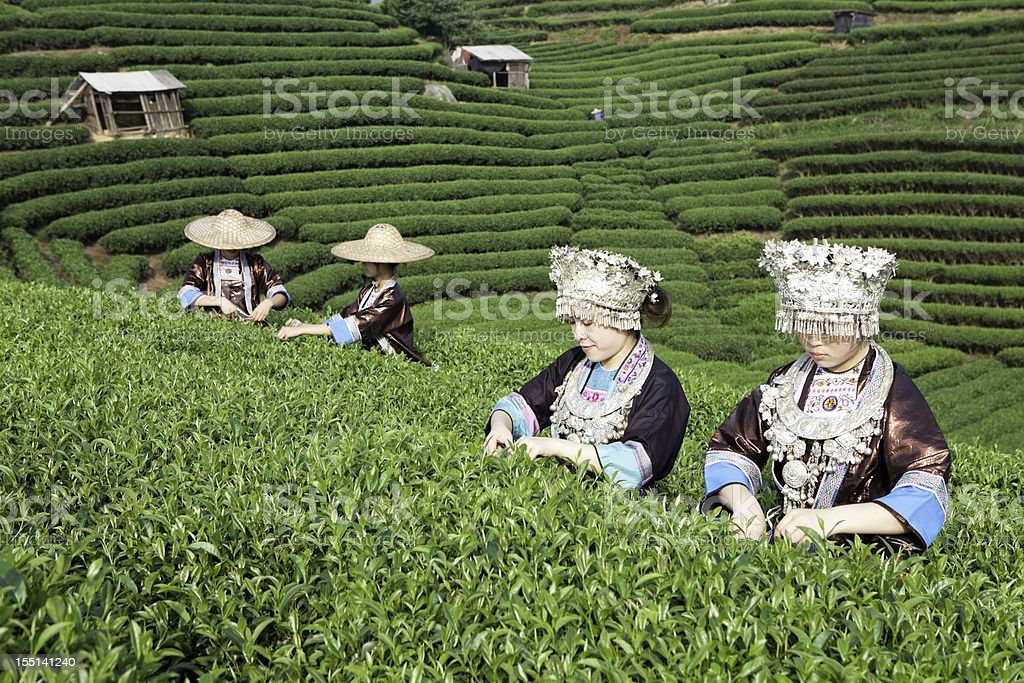 Dong Tribe Tea Pickers royalty-free stock photo