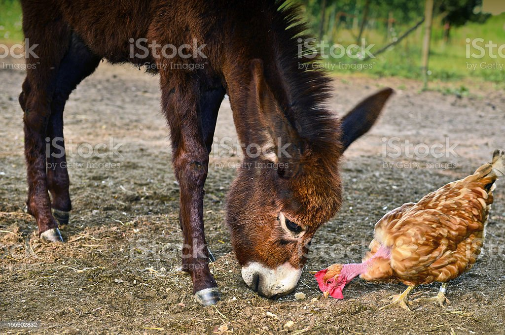 Donkey and chicken royalty-free stock photo