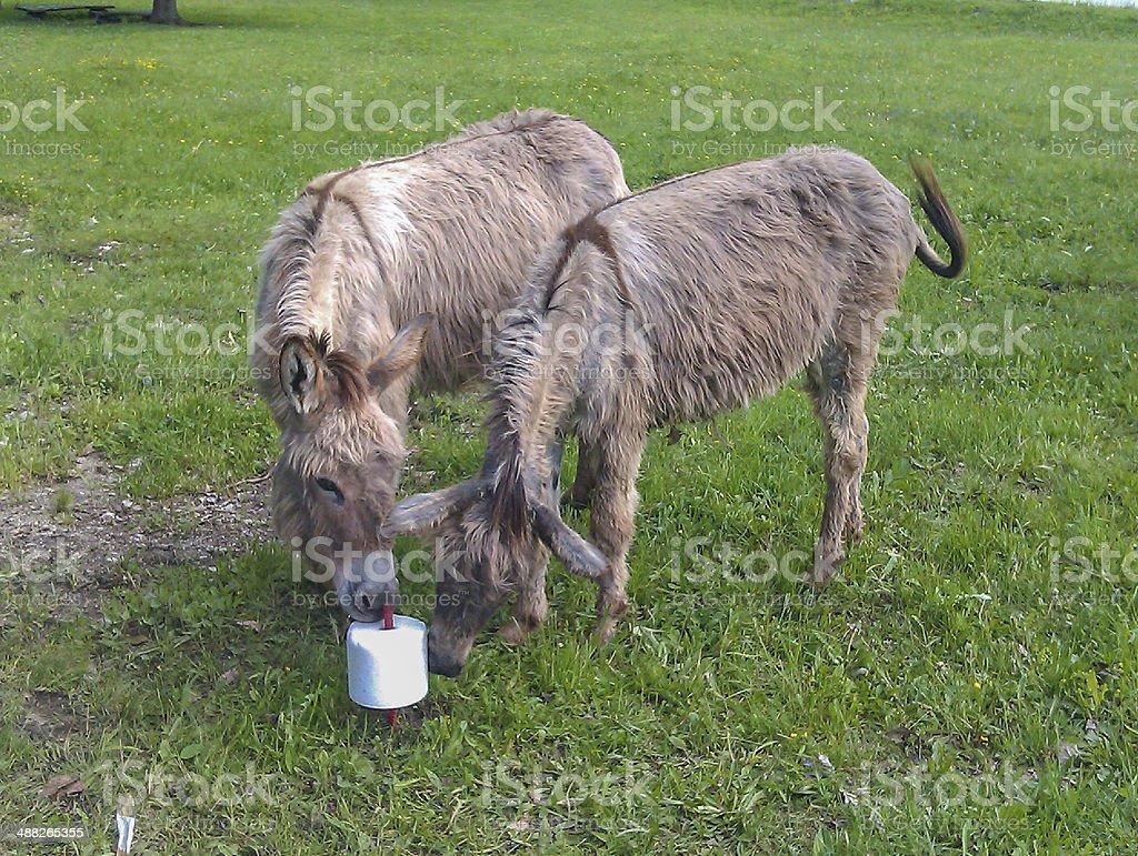 Donkey ass royalty-free stock photo