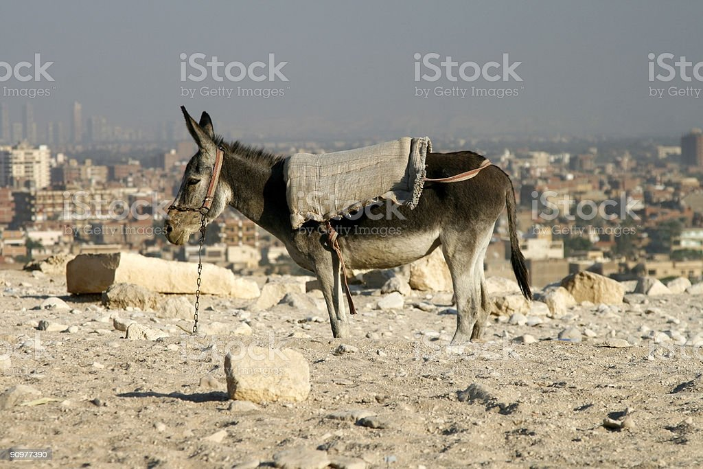 Donkey at Giza royalty-free stock photo