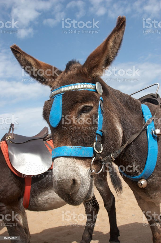 Donkey at the seaside brown fur stock photo