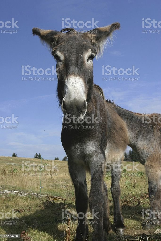 donkey attitude royalty-free stock photo